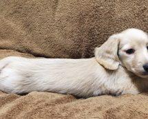 コランコランの看板犬 ハナコ