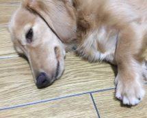 コランコランの看板犬 ミニチュアダックスのハナコ